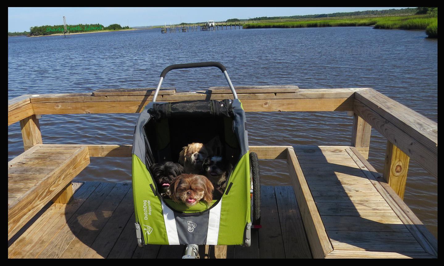Shih Tzus in new stroller
